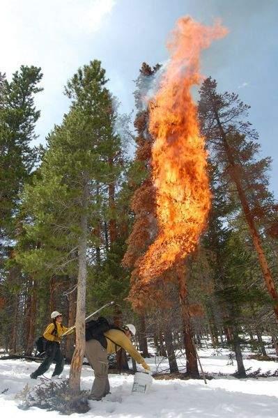 burning beetle killed tree