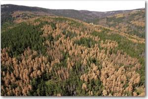 Pine_beetle_damage