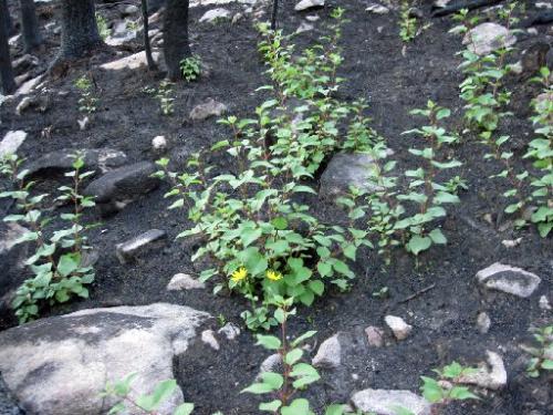 Cow Creek Fire Aspen saplings
