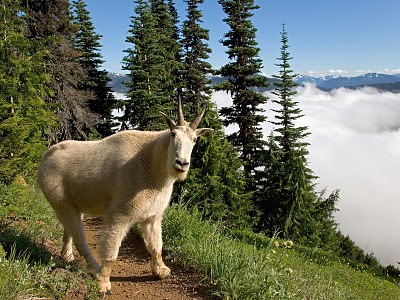 Mountain goat apparently kills hiker in Olympic National ...