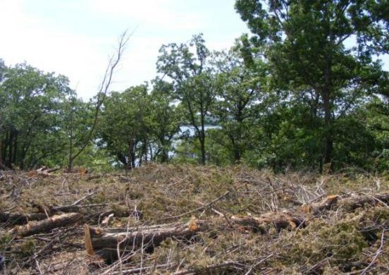 slash pile of red cedar