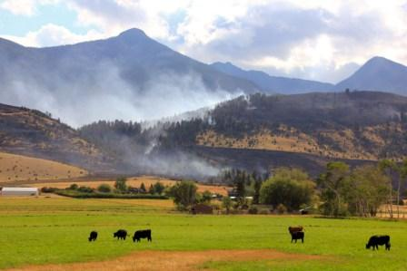 Cattle near Pine Creek Fire