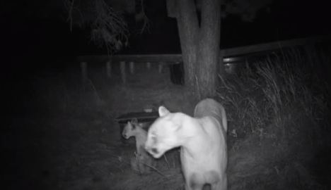 West Ash trail camera, mountain lions