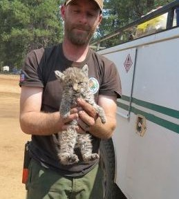 Chips bobcat rescued