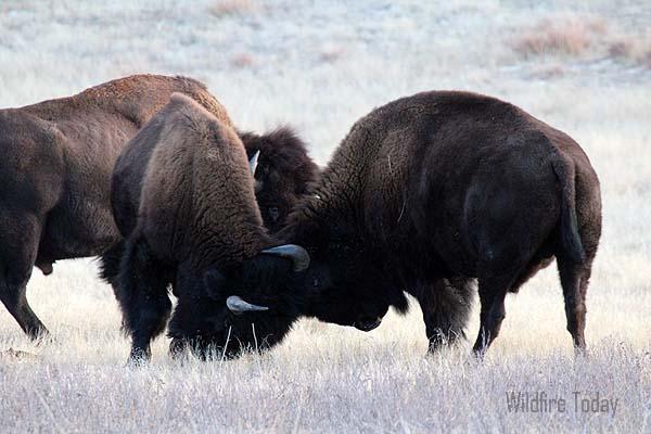 Bison fighting at Wind Cave National Park