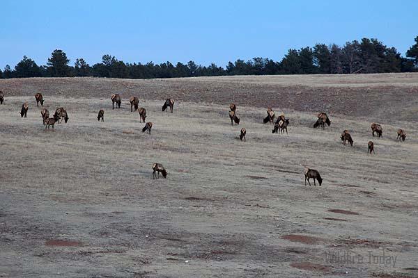 Elk at Wind Cave National Park