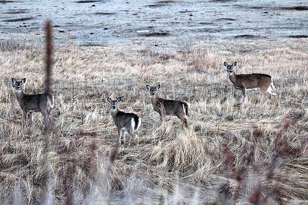 White Tail Deer in Wind Cave National Park