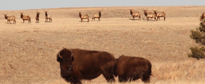 Elk and bison in Wind Cave National Park
