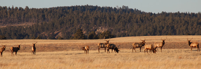 Elk in Wind Cave National Park