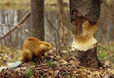Beaver and tree