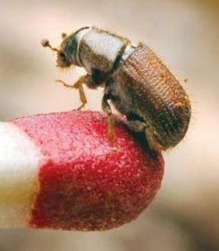 Mountain Pine Beetle, match