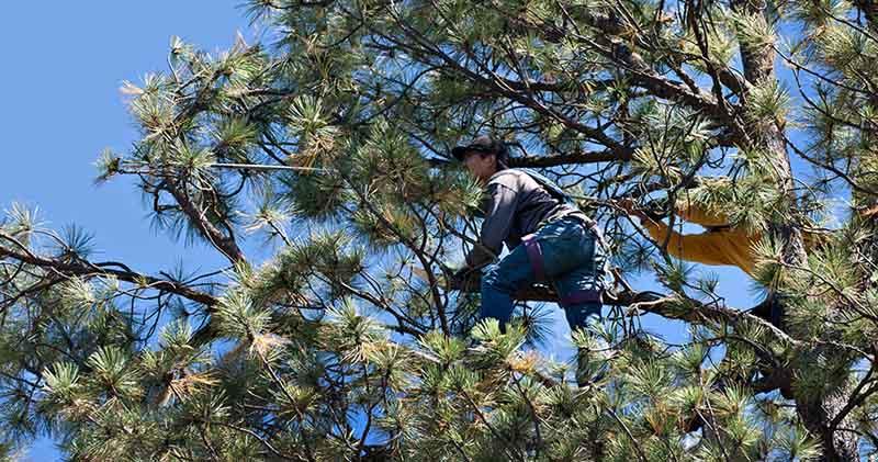 picking pine cones
