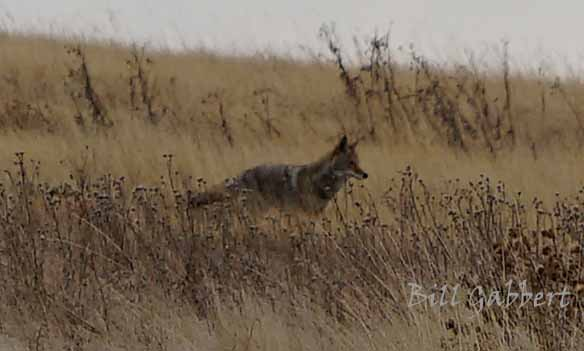 coyote  in Wind Cave National Park