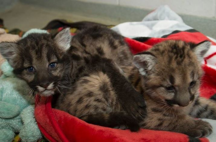 Orphaned mountain lion cubs fire
