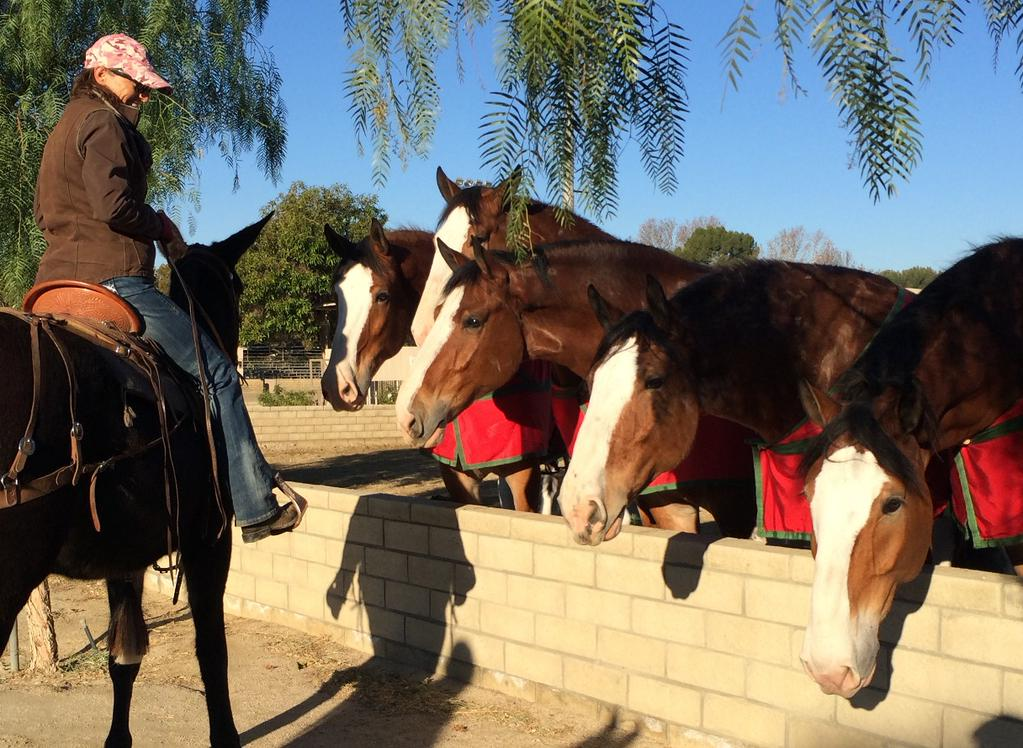 USFS pack mules Budweiser Clydesdales