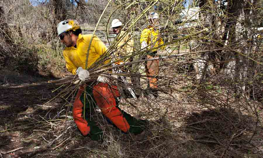 Roman Gerriets moves an armload of blackberry brambles as the Mesa Hotshots do some saw work along a fence line at the Pleasant Valley Ranger Station in Young, AZ. The crew combined their saw refresher with some needed project work on the district.