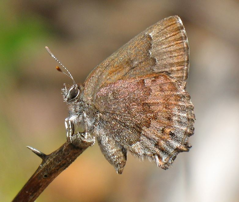 adult Frosted Alfin Butterfly