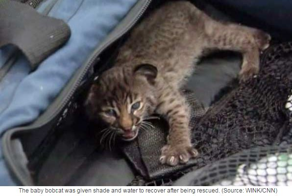 Bobcat rescued wildfire