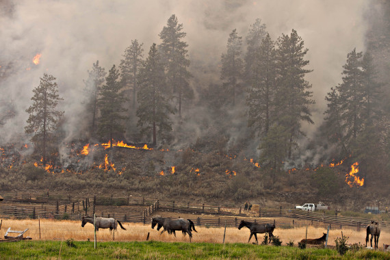 A group of horses pay no attention to a firing operation going on behind them on Division X of the Okanogan Complex August 25, 2015. Firefighters were using drip torches and incendiary devices (sausages) shot from a verry pistol to burn out the hillside to the west of Spring Coulee Road in Okanogan, WA connecting areas to the north and south that had previously burned to protect homes in the area.
