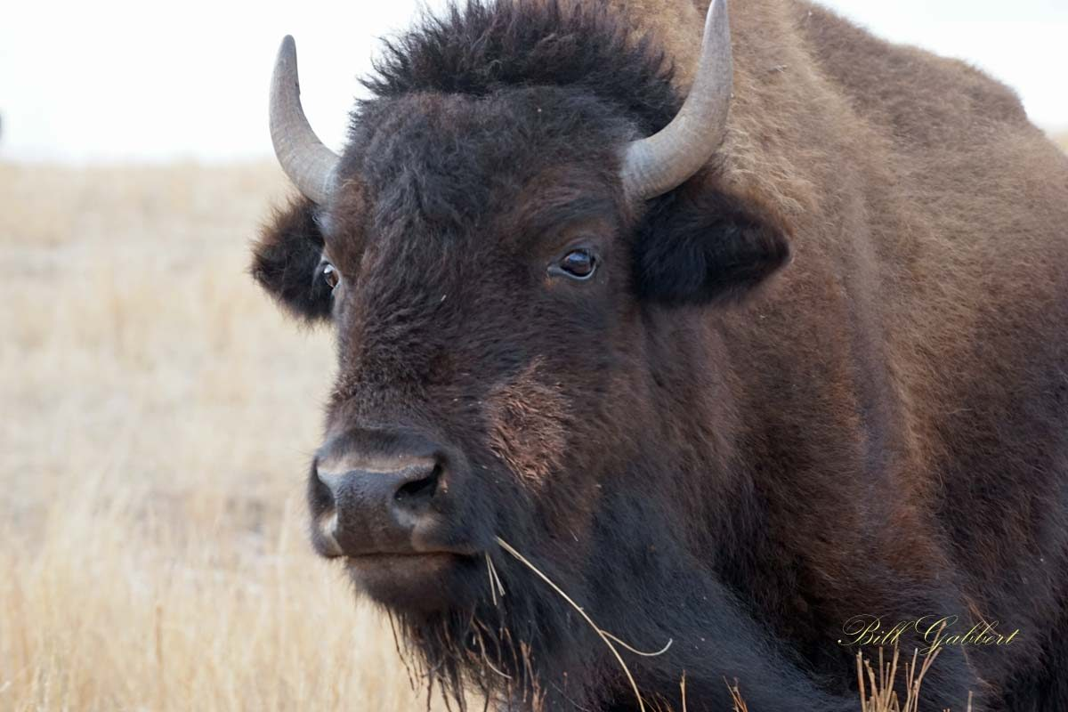 Bison closer to becoming the national mammal