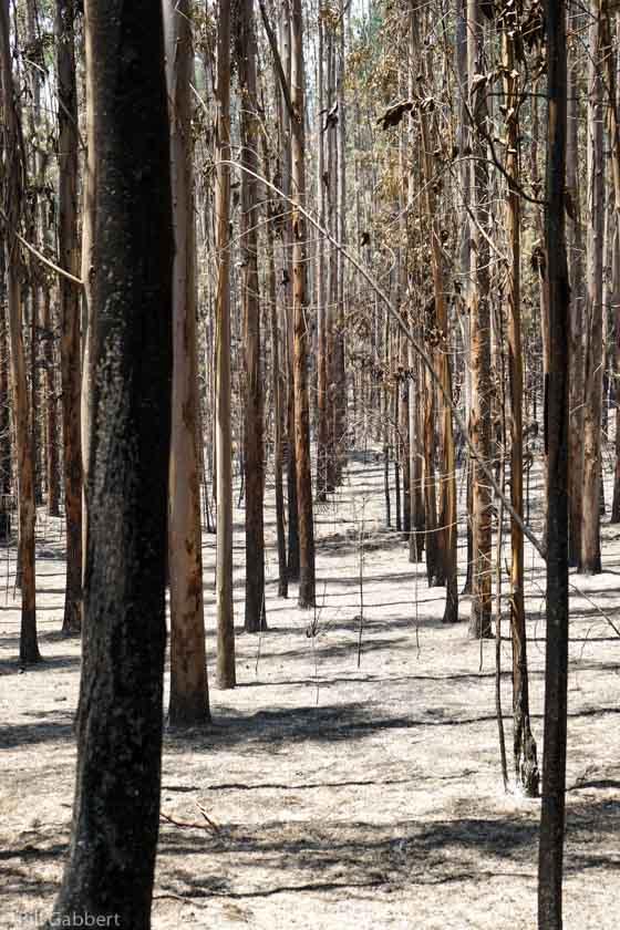 Matanzas Fire Chile Eucalyptus