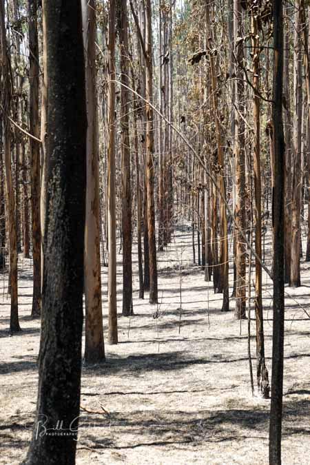 wildfire eucalyptus plantation