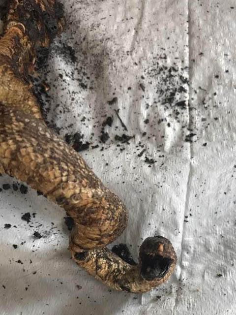 fire start hawk snake