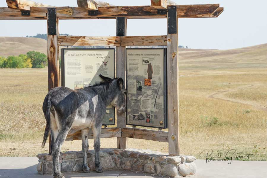 burro Custer State Park