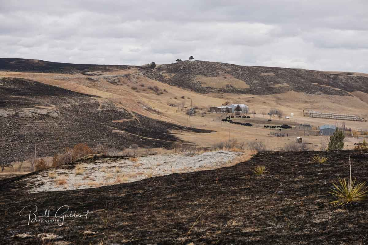 Legion Lake Fire's effect on bison and ranches