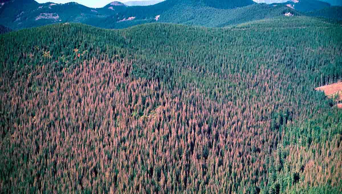 """More evidence of the """"fireproofing effect"""" of insect outbreaks in a forest"""