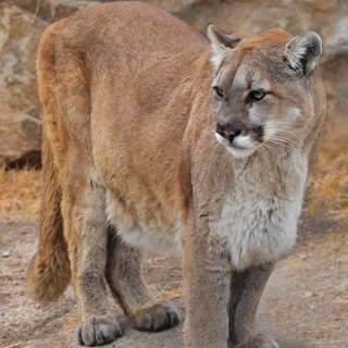 Trail runner attacked by a mountain lion defended himself by suffocating the lion