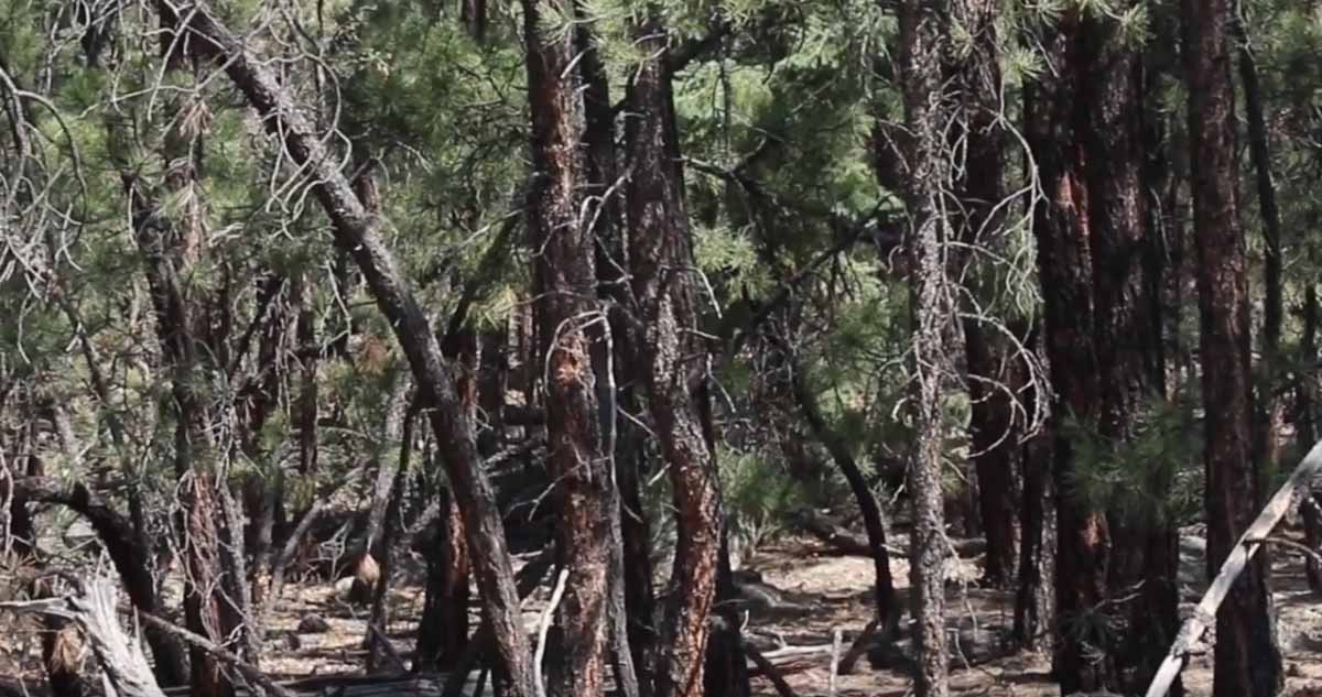 tree density wildfires exclusion