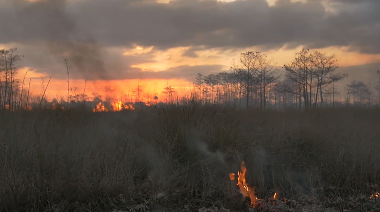 Prescribed fire Big Cypress National Preserve