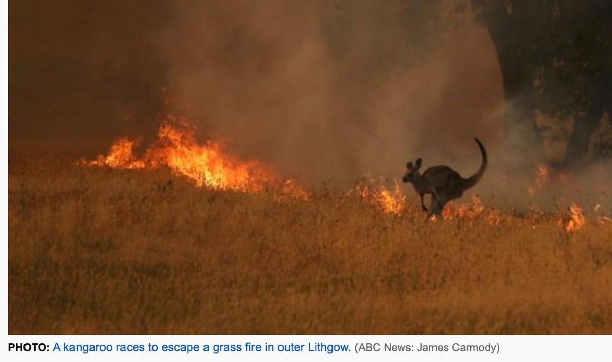 kangaroo bushfire