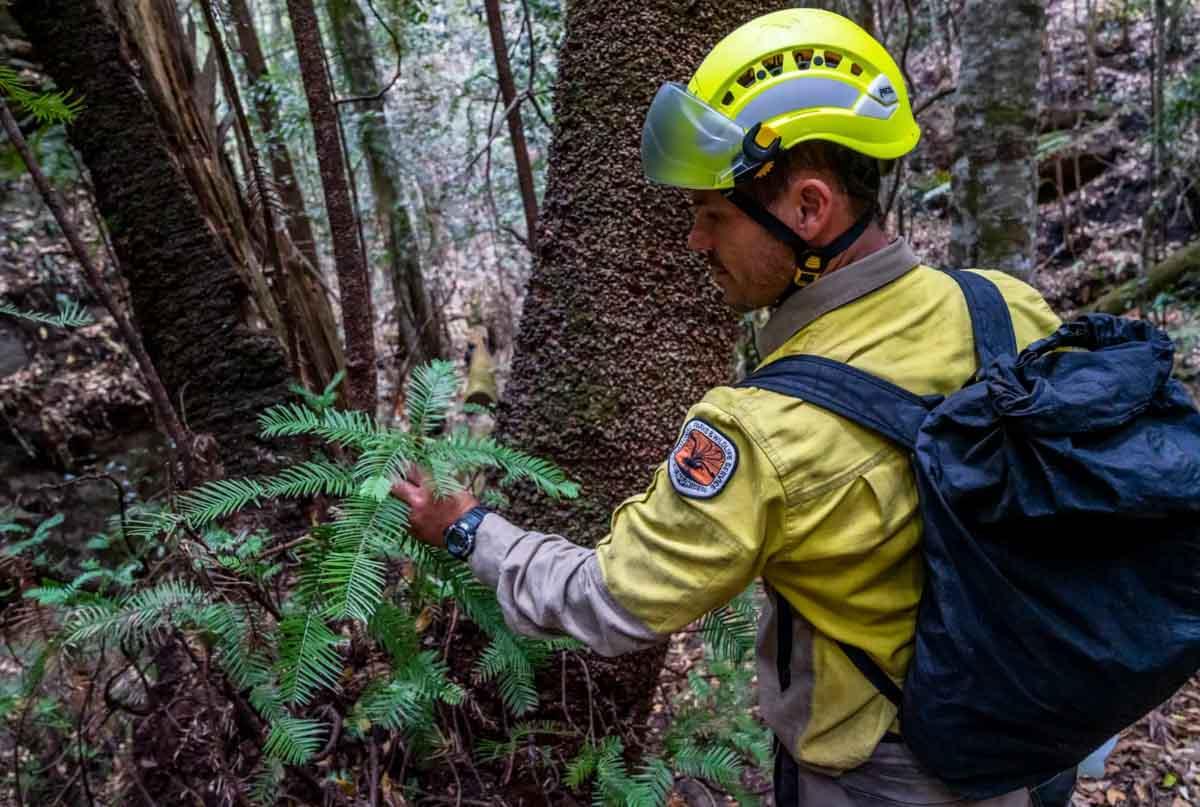 Wollemi Pine saved fire