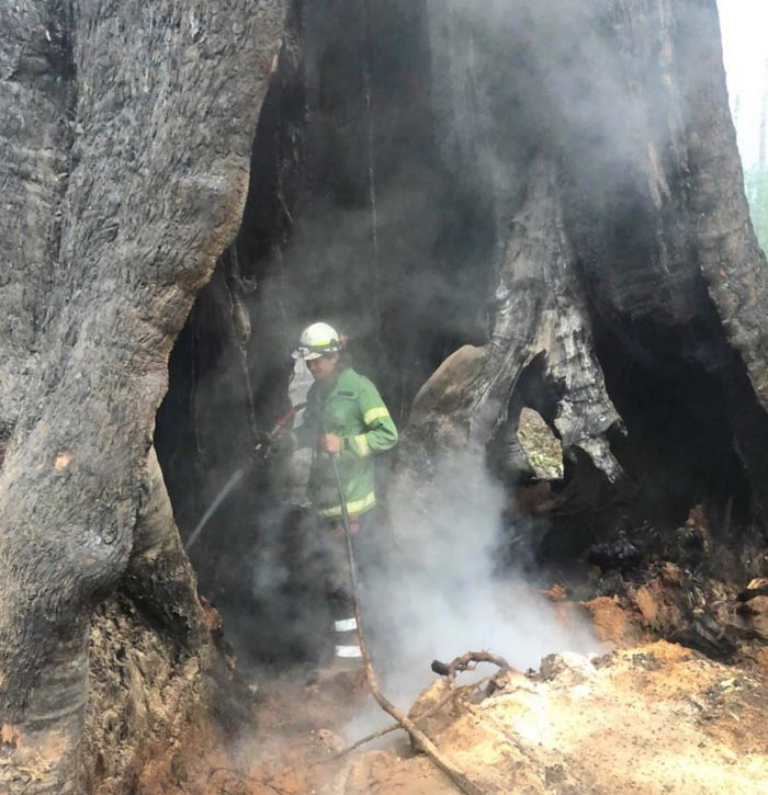 firefighters save Messmate tree Victoria Australia