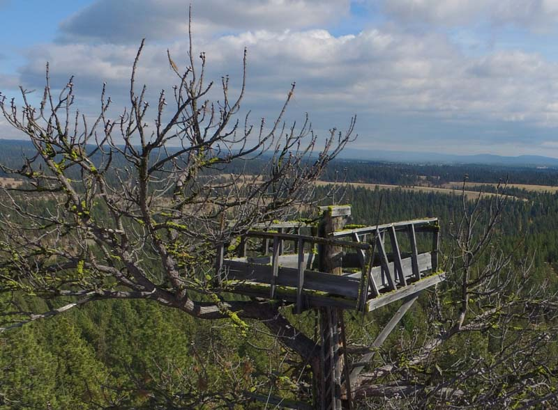 Black Mountain Lookout Tree