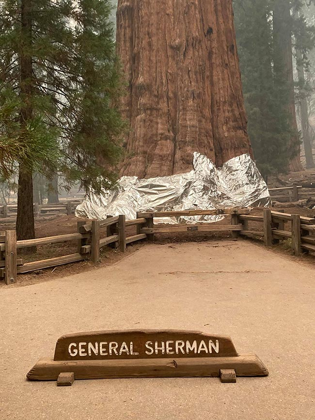 General Sherman giant sequoia tree with protective wrap Sept. 16, 2021