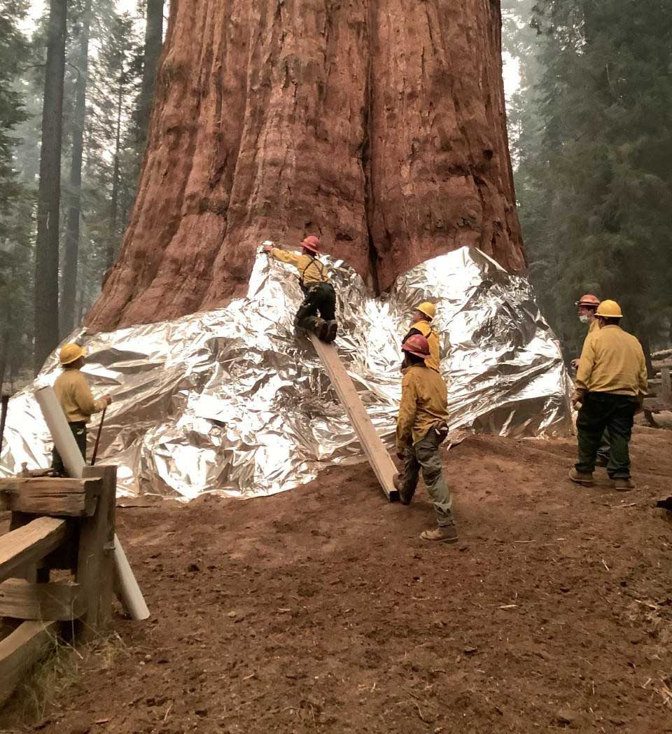 Wrapping General Sherman tree fire protect