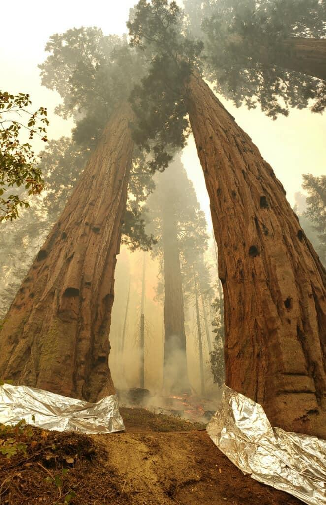 KNP Complex of fires. Giant sequoias