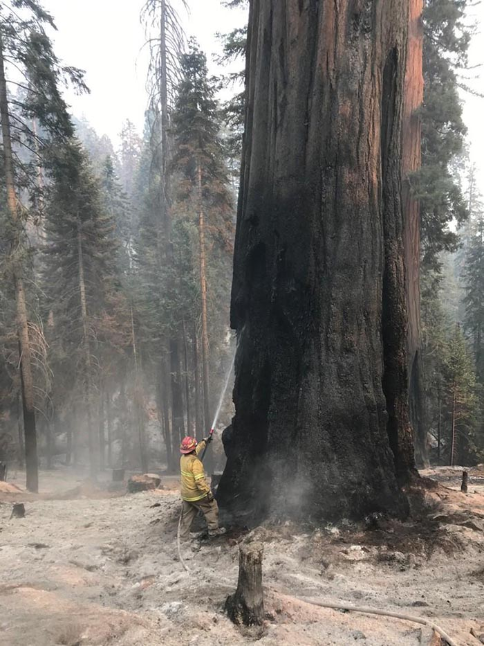 Firefighter on the Windy Fire burning giant sequoia tree