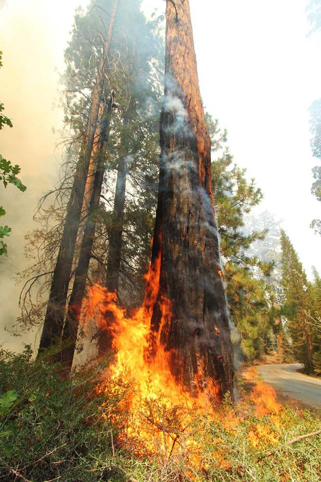 flames fire giant sequoia Windy