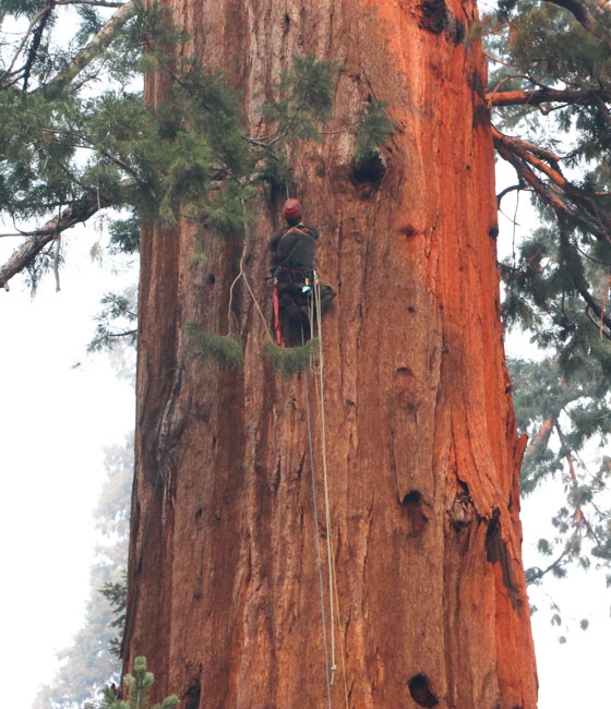 smokejumpers climb giant sequoia tree Windy Fire